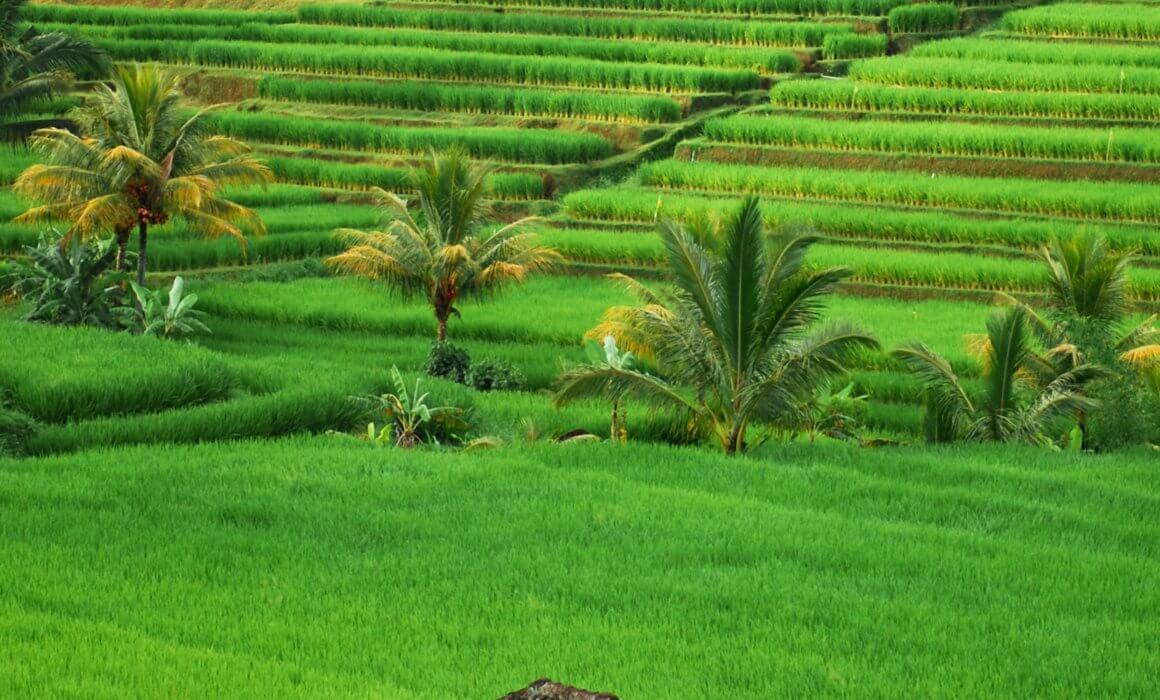 champ de riz